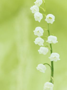 Lily of the Valley Flowers (Convallaria Majalis), Eastern USA by Wally Eberhart