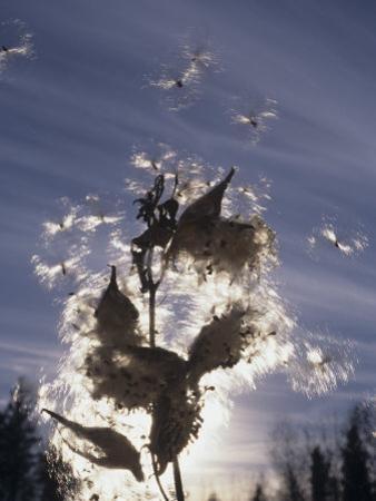 Milkweed Seeds Dispersed by Wind by Wally Eberhart
