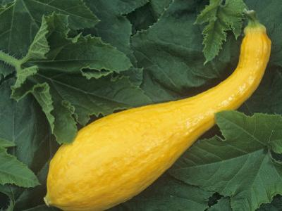 Yellow Crookneck Summer Squash by Wally Eberhart