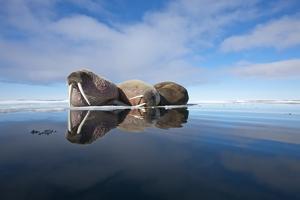 Walrus, Svalbard, Norway