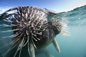 Walrus Swimming