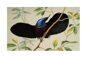 A Black Riflebird Perching on a Branch Displays His Neckpiece by Walter A. Weber