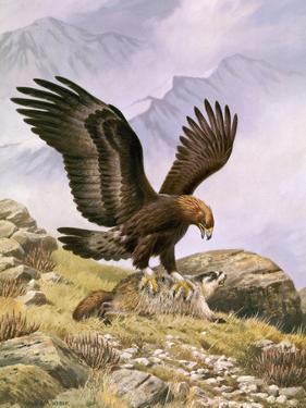 A Golden Eagle Sinks its Talons into a Frightened Hoary Marmot by Walter A. Weber