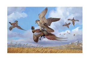 A Prairie Falcon Strikes a Ring-Necked Pheasant Feeding on Wheat by Walter A. Weber