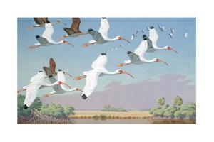 At Evening White Ibises Fly from Marshes Toward Nearby Roosts by Walter A. Weber