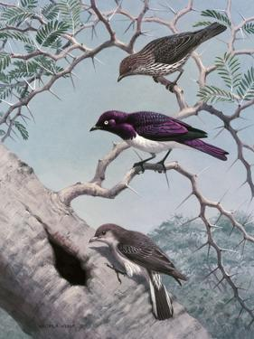 Female Greater Honey-Guide Scouts Starlings' Nest in Acacia Tree by Walter A. Weber