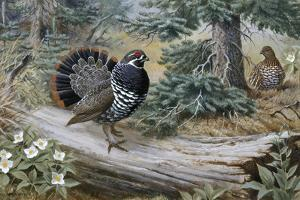 Male Spruce Grouse Courting Hen Spreads His Tail Feathers and Struts by Walter A. Weber