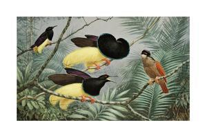 Male Twelve-Wired Birds of Paradise Compete for a Female's Attention by Walter A. Weber