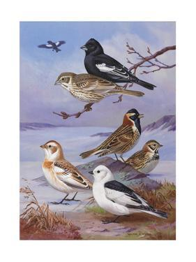 Painting Illustrates Buntings and a Longspur by Walter A. Weber