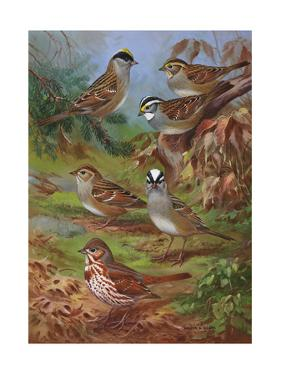 Painting Illustrates Various Sparrows by Walter A. Weber