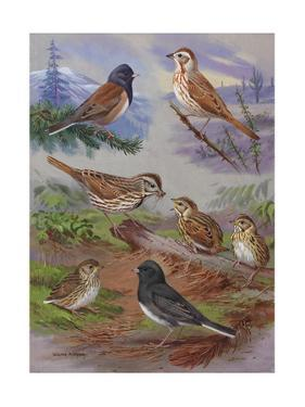 Painting Shows Various Sparrows and Juncos by Walter A. Weber