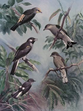 Portraits of Five Species of Honey-Guide Birds by Walter A. Weber