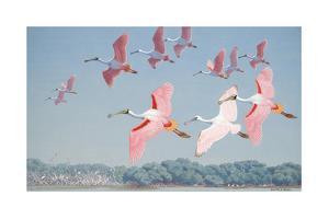 Roseate Spoonbills Soar over Water by Walter A. Weber