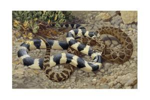 The Prairie Rattlesnake and the California King Rattlesnake Fight by Walter A. Weber