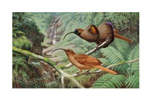 Two Birds of Paradise Perch on a Tree Branch by Walter A. Weber