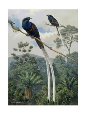 Two Ribbon Tailed Birds of Paradise Sit on a Branch in High Elevation by Walter A. Weber