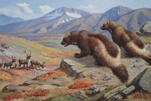 Two Wolverines Scope Out a Pack of Caribou in Hopes of Catching One by Walter A. Weber