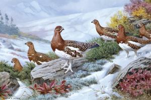 Willow Ptarmigans in Summer Plumage Leave Thicket to Search for Food by Walter A. Weber