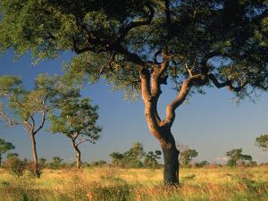 Acacia Trees, Kruger National Park, South Africa by Walter Bibikow