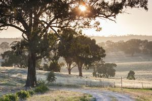 Australia, Clare Valley, Clare, Gum Trees by Brooks Lookout, Dawn by Walter Bibikow