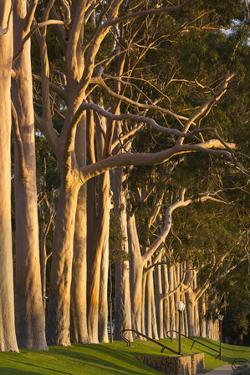 Australia, Perth, Kings Park, Trees on Fraser Avenue by Walter Bibikow