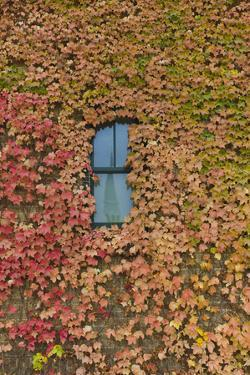 Autumn Ivy, Fargo, North Dakota, USA by Walter Bibikow