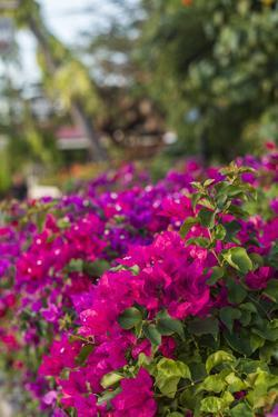 British Virgin Islands, Virgin Gorda, bougainvillea flowers by Walter Bibikow