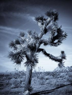 California, Joshua Tree National Park, Joshua Tree, Yucca Brevifolia, in Hidden Valley, USA by Walter Bibikow