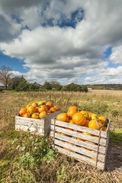 Canada, Nova Scotia, Annapolis Valley, Wolfville. Pumpkin farm in autumn. by Walter Bibikow