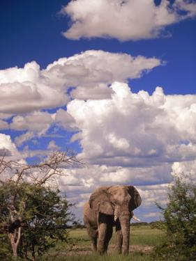 Elephant in Etosha National Park, Namibia by Walter Bibikow