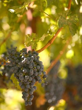 Grapes and Vineyard, Rutherford, Napa Valley, California by Walter Bibikow