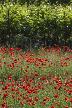 Greece, Central Macedonia, Dion, Poppy Field by Walter Bibikow