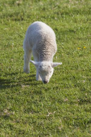 Ireland, County Kerry, Slea Head Drive, Slea Head, young sheep by Walter Bibikow