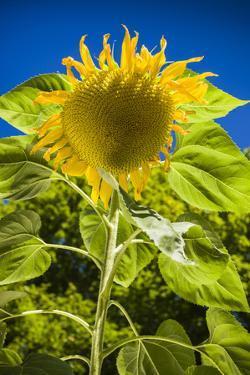 Maine, Wiscasset, Sunflower by Walter Bibikow