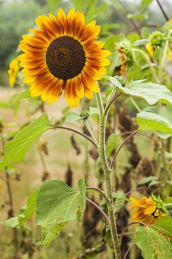 Massachusetts, Cape Ann, Rockport, Sunflower by Walter Bibikow
