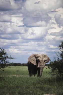 Namibia, Etosha NP, Elephant Young Male, African Bush Elephant by Walter Bibikow