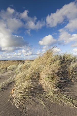 New Zealand, North Island, Whanganui. Castlecliff Beach, dune grass by Walter Bibikow