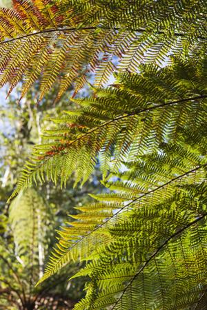 New Zealand, South Island, Fox Glacier Village, Lake Matheson, ferns by Walter Bibikow