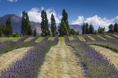 New Zealand, South Island, Otago, Wanaka, lavender farm by Walter Bibikow