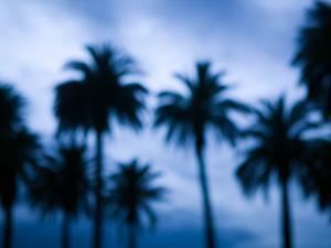 Palms along Ocean Avenue, Santa Monica, Los Angeles, California, USA by Walter Bibikow