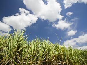 Pioneer Valley-Sugar Cane Field, , Marian, Whitsunday Coast, Queensland by Walter Bibikow