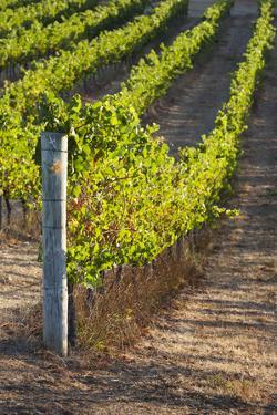 Southwest Australia, Margaret River Wine Region, Vineyard by Walter Bibikow