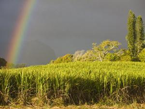 Sugar cane field, St-Philippe, South Reunion, Reunion Island, France by Walter Bibikow