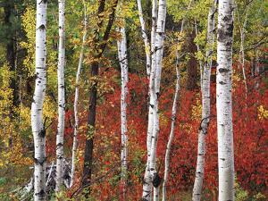 Trees in Autumn, Black Hill Area, Custer State Park, South Dakota, USA by Walter Bibikow