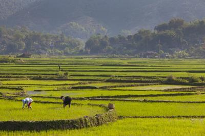 Vietnam, Thuan Chau, Rice Fields by Walter Bibikow