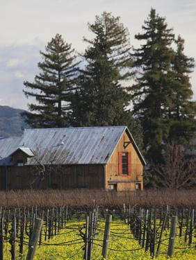 Vineyard in Winter, Rutherford, Napa Valley Wine Country, Northern California, Usa by Walter Bibikow