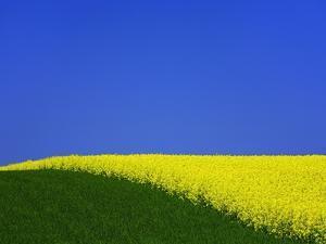 Blooming Rape Plant Field by Walter Geiersperger