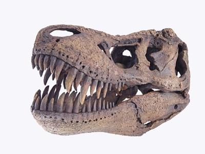 Tyrannosaurus rex skull by Walter Geiersperger