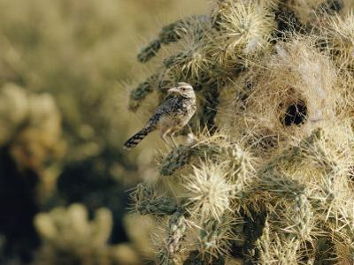 A Cactus Wren Perches on a Cholla Cactus Near the Entrance to its Nest