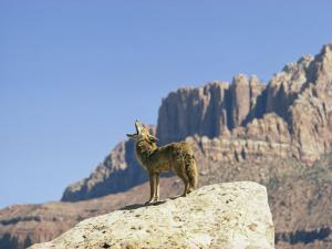 Barking Coyote in Utah by Walter Meayers Edwards